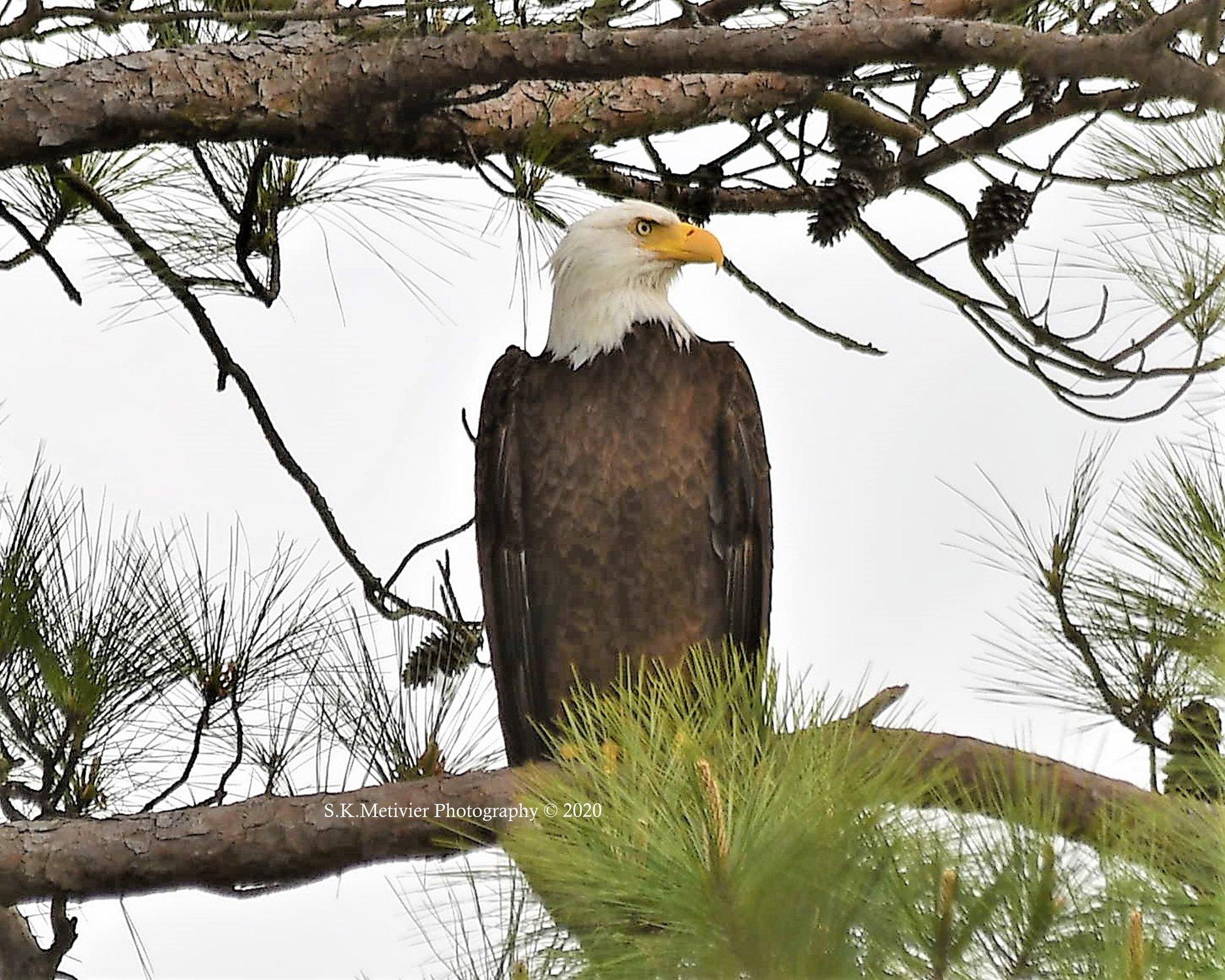 Our Longwood  Eagle thumbnail